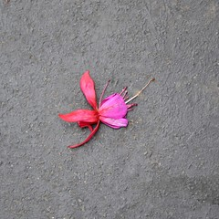 Fuchsia (Machicouly) Tags: street pink red urban paris flower fleur rose rouge calle rojo pavement fuchsia ciudad sidewalk urbano rue fucsia ville trottoir urbain acera roso machicouly