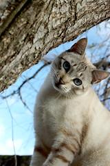 IMGP7651 (EdmilsonFeldmann) Tags: blueeyes whitecat snowcat olhoazul blueeyedcat gatobranco gatodeolhosazuis gatodaneve