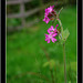 "Red Campion ? • <a style=""font-size:0.8em;"" href=""http://www.flickr.com/photos/48350880@N06/9125284165/"" target=""_blank"">View on Flickr</a>"