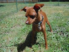 (Nibblerdoodle) Tags: dog miniaturepinscher minpin nibbler