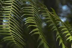 Fern1 (cjuel) Tags: california fern woodside filoli friendlychallenges thechallengefactory