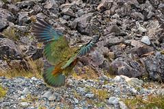 Arthur's Pass-Kea (scrumpy 10) Tags: newzealand birds animals nikon wildlife arthurspass kea aotearoa neuseeland d800 wildanimals jacqualine ozeanien newzealandnature animalsoftheworld scrumpy10