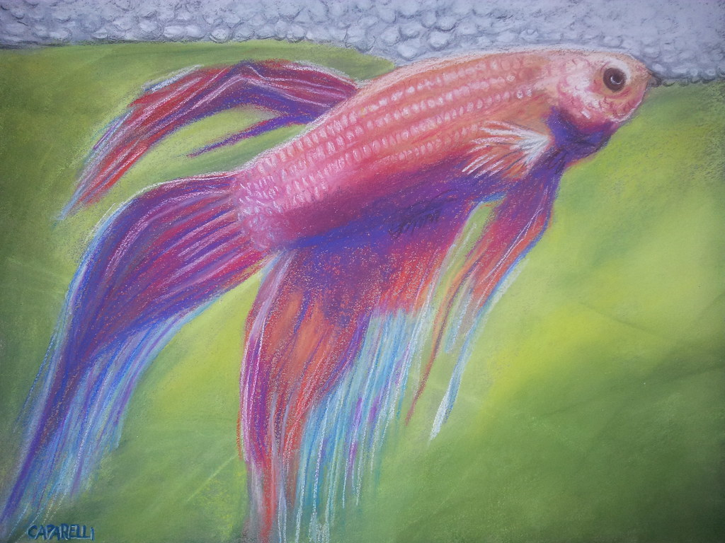 The world 39 s best photos of betta and drawing flickr hive for Japanese fighter fish