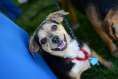 Kodaline @ Dog Days of Summer (Save-A-Pet Adoption Center) Tags: dog beagle female adopted dogdaysofsummer saveapet 2013 justoneday kodaline petathlon