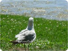 Gull on the Lookout (Chantal PhotoPix) Tags: wild lake bird art nature water birds animal animals fauna photography geese duck wildlife fineart lakes ducks goose waterfowl fineartphotography