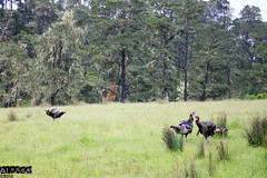 Wild Turkeys (Blonde Photography Official) Tags: forest turkey wildturkeys blondephotography