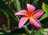 New Plumeria (rgb48) Tags: california flowers plumeria flowerscolors masterphotos