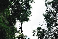 faire le singe (pontfire) Tags: street urban costa nature monkey mono américa rainforest costarica natural rica macaco rue centralamerica singe affe capuchin cartago centroamérica cebus amérique 猿 capucin scimmia cebuscapucinus whitefacedcapuchin capucinmonkey обезьяна costaricamonkey amériquecentrale whiteheadedcapuchin singecapucin capucinmoine forêttropicalehumide sajoucapucin capucinàfaceblanche centraleamerica pontfire singeducostarica