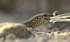 Lizard with cricket (Julia-still away! catching up) Tags: macro closed lizard mondays specanimal impressedbeauty macromondays canoneos7d canon100mm28fmacroisusm lizardwithprey photographybyjuliamartin lizardeatingacricket macrooflizardeating