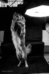 Luck - 4 (Fbio J.Santos) Tags: golden luck cachorro