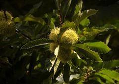 Castanheiro (Eudora Porto) Tags: portugal braga eudora minho magusto fruto ourio castanhas castanheiro assadas cozidas