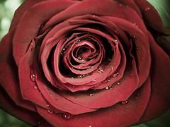 (_Zahira_) Tags: red flower macro water rose lafotodelasemana drops rojo agua flor rosa olympus gotas petalos e500 uro 35mmmacro ltytrx5 ltytr1