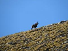 IMG_0068 goats (john blopus) Tags: mountain nature hellas olympus greece