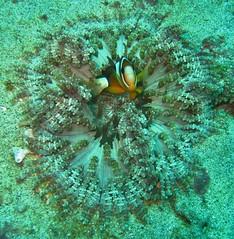 Anemonefish (Henry & Tersia) Tags: bali indonesia scuba diving bluelagoon anemonefish underwaterphotography padangbai bluefindiving
