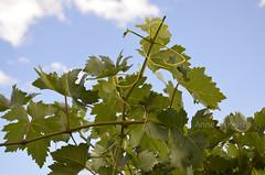 November sky and leaves (Palmou) Tags: green leaves closeup leaf vineyard wine australia nsw grapes blatt huntervalley weinblatt nikond5100