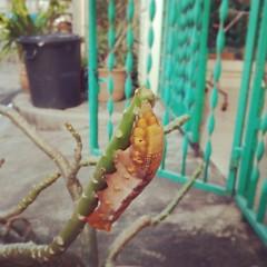 นางกินใบต้นชวนชมหมดต้นแล้วค่าาาา -*- #หนอน #ส่วนตัวสีเขียวนั่นนกงาบไปกินแล้ว