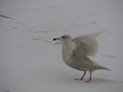 Glaucous Gull at dam in St. Charles (BIRDS i VIEW2) Tags: vision:outdoor=0938 vision:sky=0504