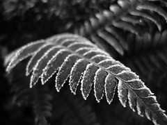 fern frost (transviralist) Tags: winter blackandwhite bw fern ice monochrome frost