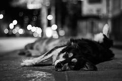 Nina (AriCaFoix) Tags: chile street santiago bw dog bus abandoned night canon 50mm noche calle eyes bokeh bn perro stop ojos xsi abandonado callejero paradero ef50mmf14usm 450d granavenida