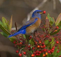 WESTERN BLUEBIRD (sea25bill) Tags: morning winter red food sun male nature animal bush berries wildlife westernbluebird toyon specanimalphotooftheday