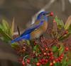WESTERN BLUEBIRD (sea25bill) Tags: morning winter red food sun male nature animal bush berries wildlife westernbluebird toyon specanimalphotooftheday