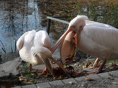 Leaf collector (Christa_P) Tags: bird pelican waterfowl wasservgel