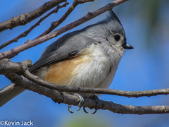 Tufted titmouse (kevin.jack910) Tags: titmouse tufted