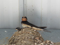 Barn Swallow (Lady Muir) Tags: park red orange baby brown white lake black bird birds barn river mom grey babies mckay nest gray lakes beak feathers mother feather structures structure ceiling mo parent missouri rivers messy swift jefferson swallow barnswallow nesting jeffersoncity binder tweet raising binderpark 65108 65109 mckaypark