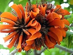 Erythrina stricta (Corky Coral Tree) (Luigi Strano) Tags: flowers flores tree alberi fleurs flor blumen fiori erythrina corkycoraltree lovelyflickr