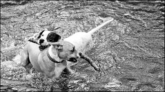 My Stick (csnyder103) Tags: bw dog water creek fun play stick canon1dmkiii canonef2485f3545