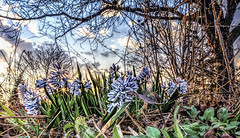 Spring Surprise (Wes Iversen) Tags: flowers trees nature spring blossoms blooms hdr squill tokina1116mmf28 friendshipparkconservatory