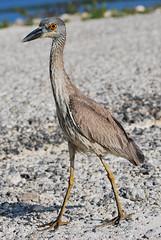 Yellow-crowned Night Heron (RuudVisser) Tags: bird heron birds animal unitedstates florida sanibelisland reiger yellowcrownednightheron nyctanassaviolacea nikond60 dingdarlingnwr geelkruinkwak