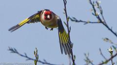 Goldfinch (Michael-Norton) Tags: bird garden flying wings wildlife goldfinch flight avian nireland coarmagh