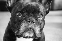 05-04-14 (1652) Focus (Lainey1) Tags: bw dog oz sony bulldog frenchie frenchbulldog 365 ozzy 1652 frogdog 050414 lainey1 zendog elainedudzinski sonynex6 thefifthyear ozzythefrenchie 1652oz