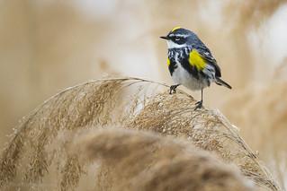 Yellow-rumped Warbler (myrtle) - At Richard W. DeKorte Park, Meadowlands, NJ