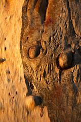 IMG_1518-bark detail gum-creek camp-nr Menindee-A (geoffgleave) Tags: sunset creek gum pattern bark nsw menindee