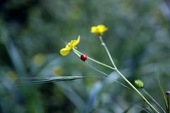 Conte de printemps / 4 (Cristianella) Tags: ladybug siena monteriggioni prato coccinella montagnola