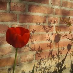 Schatten aus Amsterdam. (ThomasKohler) Tags: shadow flower stone wall square spring wand squareformat tulip blume stein schatten mauer frühling tulpe ziegel iphoneography instagramapp uploaded:by=instagram