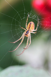 - Cross spider -