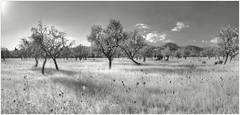 MallorcaPanorama10BW (alexander.heise) Tags: bw panorama inca mallorca hdr baleares binissalem mandelbume