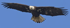 Letz Roll !! (zarb67) Tags: closeup canon maryland raptors avian birdsofprey americanbaldeagle birdinflight 1dx conowingohydroelectricdam fall2014 600mmf4lisii14xiii avianflightshot