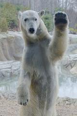 """Howdy y'all"" (ucumari photography) Tags: bear animal mammal zoo nc north january iso polarbear carolina polar anana ursusmaritimus 2015 osopolar ourspolaire specanimal ucumariphotography ourblanc dsc2067v2"