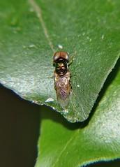 Big Eyed Small golden Soldier Fly in family Stratiomyidae on Murraya leaf Mackay P1000151 (Steve & Alison1) Tags: family soldier golden fly leaf big small mackay eyed murraya stratiomyidae