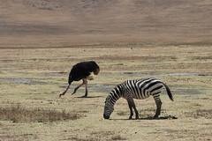 Zebra & Ostrich
