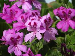 A geranium pelargonium graveolens (pat.bluey) Tags: flowers purple ngc australia newsouthwales 1001nights geranium pelargonium warilla 1001nightsmagiccity