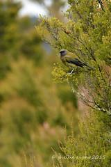 Bellbird - Koromiko (flyingkiwigirl) Tags: bush bellbird koromiko bloowhard