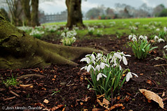 Despierta, Madre Tierra - Wake Up, Mother Earth (Luca Morales Guinaldo) Tags: flowers kilkenny ireland flores castle de earth snowdrops invierno castillo irlanda tierra campanillas