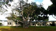 AdansoniaDigitata_20141224_KingKeeaumoku-Honolulu_Cutler_163802 (wlcutler) Tags: garden hawaii oahu honolulu baobab departmentofagriculture adansonia adansoniadigitata