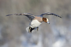 Eurasian Wigeon (PeterBrannon) Tags: winter canada bird ice nature novascotia wildlife flight landing eurasian dartmouth eurasianwigeon anaspenelope birdlanding
