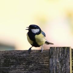 lovely bird flying around in garden (OSDGmakesPics) Tags: bird great titmouse